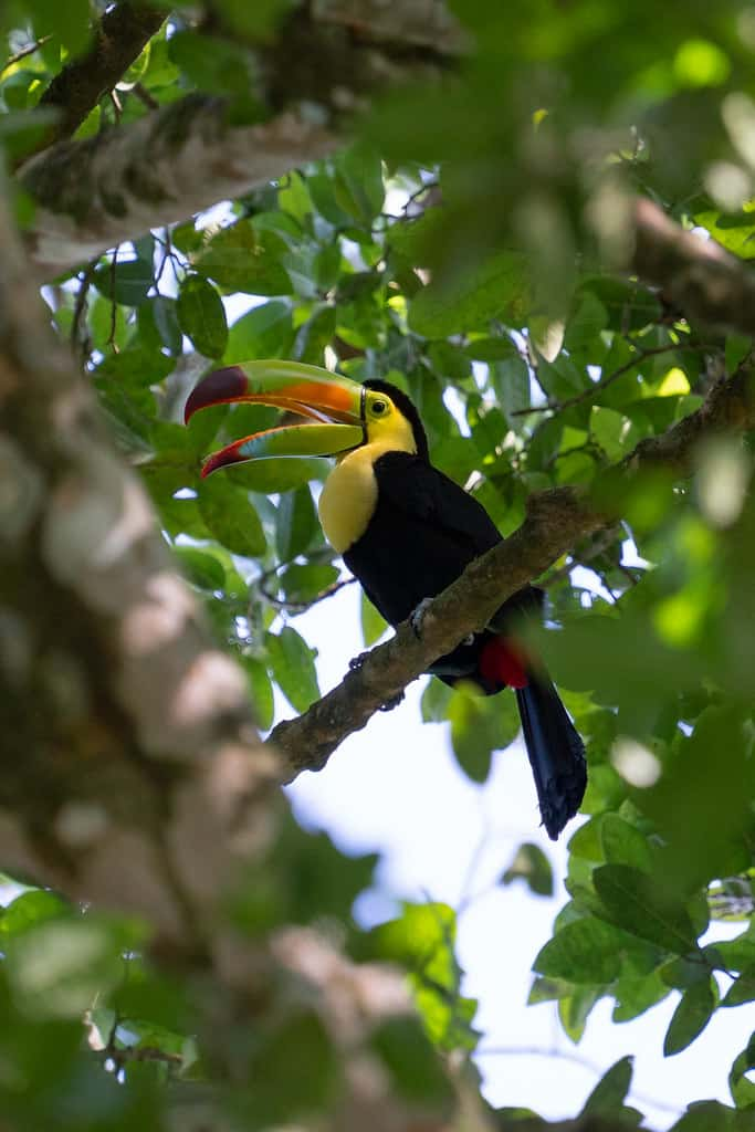 birds-of-belize-keel-billed-toucan-web