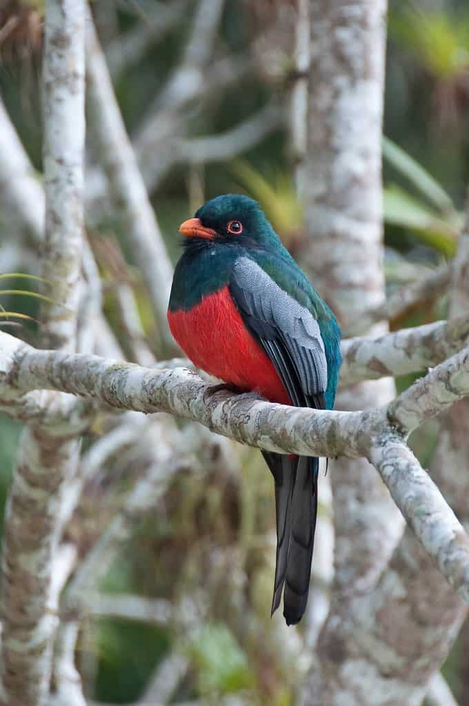 green hills ranch slaty-tailed-trogon birds of belize