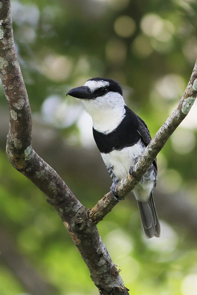 birds-of-belize-white-necked-puffbird